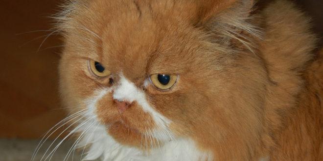 Dugorepa mačka i trepavice od 12 cm ušli u Ginisovu knjigu